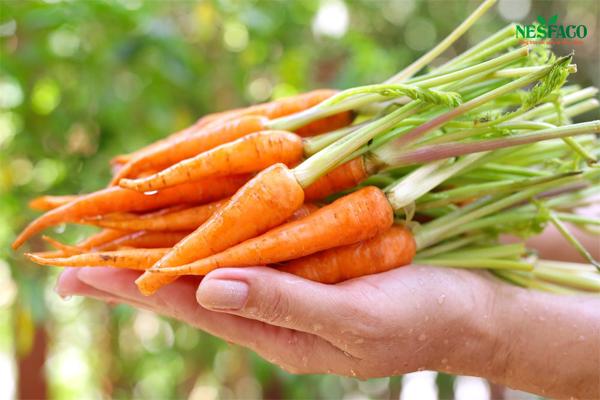 Cà rốt có tác dụng làm mềm thành mạch