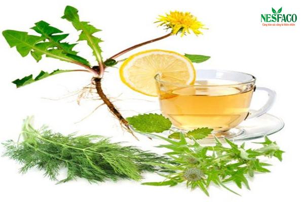 Uống trà bồ công anh giúp ngăn ngừa ung thư, hạ huyết áp
